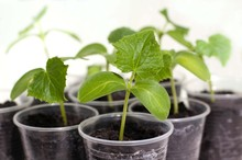 Cucumber Seedlings In Small Pl...