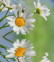 Panel Szklany Kwiaty Chamomile flowers against the blue sky reflected in a water