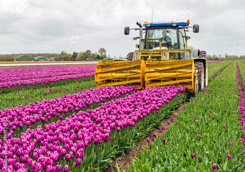 Valokuvatapetti Mechanized cutting off the flower heads in a tulip field