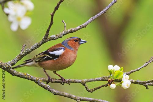 Poster de jardin Oiseau colored songbird sitting on a branch of flowers