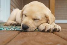 Yellow Labrador Retriever Pupp...