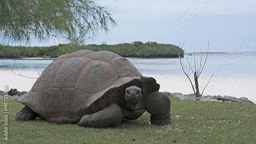Plakat Aldabra Giant Tortoises