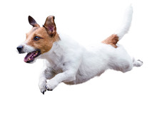 Jack Russell Terrier Dog Runni...