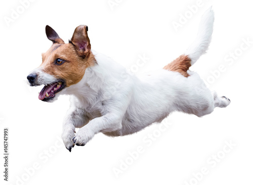 Obraz Jack Russell Terrier dog running and jumping isolated on white - fototapety do salonu