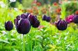 dark purple Tulip Queen of the Night growing in a flower border. Selective focus on foreground flower.