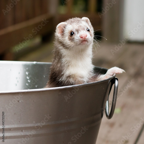 Fotografija  Ferret in Bucket
