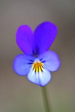 Wild Pansy (Viola Tricolor) Fl...