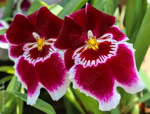 Foto  Orchidee miltonia hybride