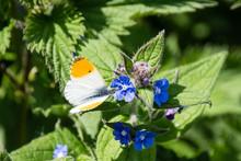 Male Orange Tip Butterfly - An...