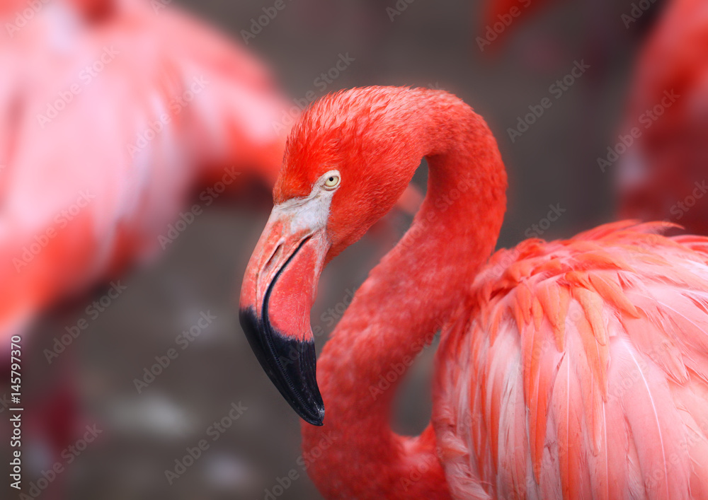 hoto of a beautiful portrait of a red flamingo