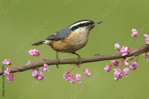 Aufkleber - Red-breasted Nuthatch On A Perch