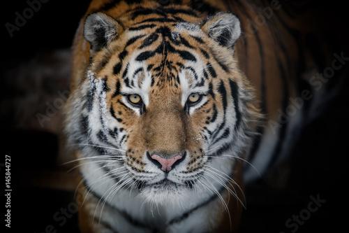 In de dag Tijger Amur tiger
