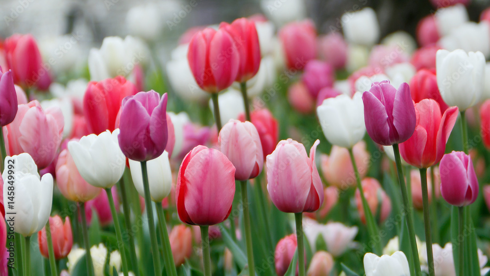 Fototapety, obrazy: Colorful tulips grow and bloom in close proximity to one another.