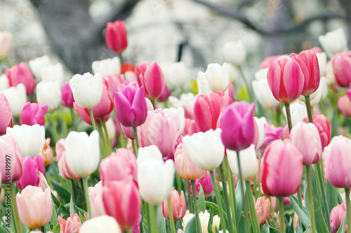 Fototapeta Colorful tulips grow and bloom in close proximity to one another.