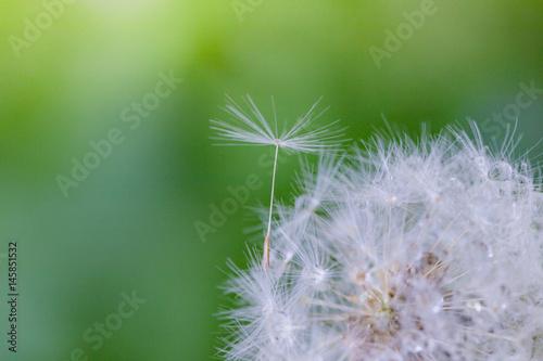 Staande foto Paardebloemen en water Shoot in closeup,fluffy dandelion