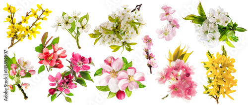 Blossom apple tree cherry twig pear almond forsythia Set spring flowers