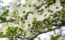 Flowering Dogwood Blossoms In ...