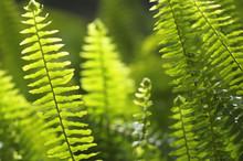 Green Fern Leaves Background