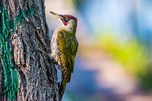 Green Woodpecker Looking For F...
