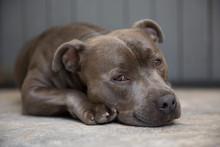 Blue Staffordshire Terrier Sleepy Eyes
