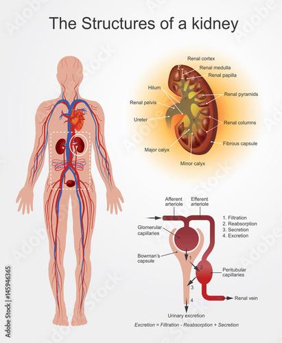 Fototapeta Structures of Kidney. part of human body. Anatomy Arts Vector graphic. obraz na płótnie