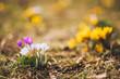 Krokusse Wiese im Frühling