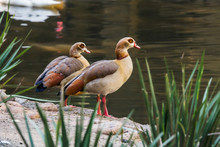 Pair Of Egyptian Geese Standing Near Water In World Of Birds Zoo.