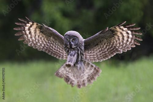 Keuken foto achterwand Uil Great grey owl