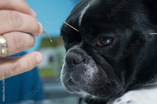 Fotografie, Obraz  Acupuncture in pets
