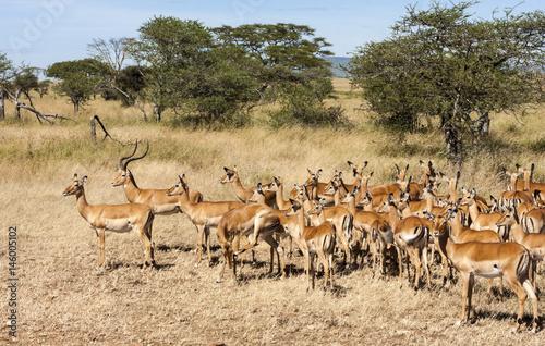 Spoed Fotobehang Antilope Resting Impala Antelope Tanzania Africa