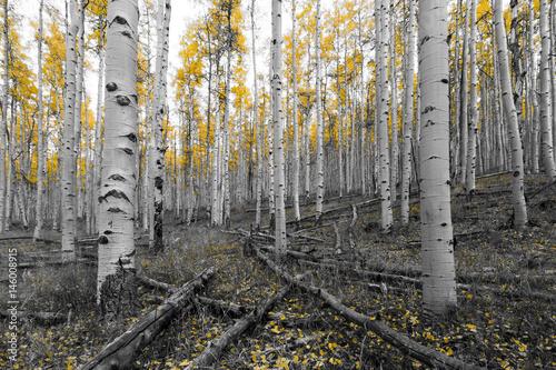 zloty-zolty-drzewo-las-w-czerni-i-bieli