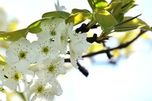 Nashi Pear Blossoms In Japanes...