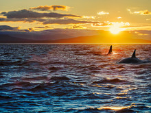 Two Killer Whales Against Setting Sun. Vancouver Island, British Columbia, Canada
