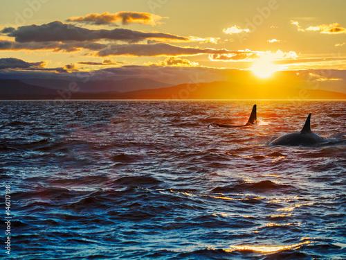 Fototapeta premium Dwa orki przed zachodzącym słońcem. Wyspa Vancouver, Kolumbia Brytyjska, Kanada