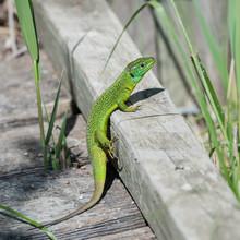 Green Lizard, Lacerta Bilineata
