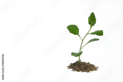 Fotografie, Tablou  Green growing plant in soil isolated on white background