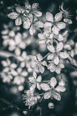 Panel Szklany Kwiaty Blooming cherry flowers