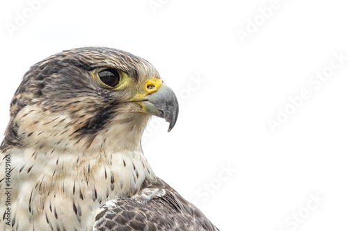 Portrait of a saker peregrine cross hybrid falcon looking right isolated on white