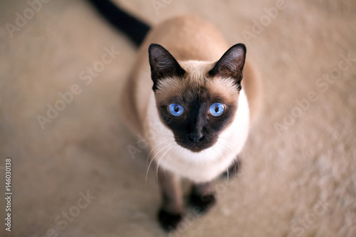 a thai cat is a traditional or old-style siamese cat Fototapeta