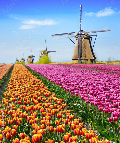 Fotografie, Obraz  Magical fairy fascinating landscape with flowers tulip field in Holland, Europe