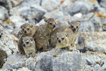 A Group Of Young Rock Hyrax Procavia Capensis Namibia March