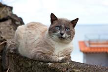 Niebieskooki Kot Leżący Na Murku Na Tle Oceanu.