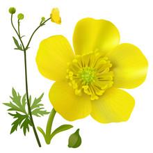 Buttercup - Ranunculus. Hand ...