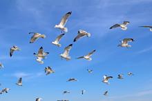 Ring-billed Sea Gulls Against A Blue Sky