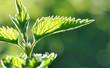 Leinwanddruck Bild - feuilles d'ortie éclairée par lumière naturelle