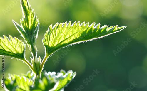 Fotografie, Obraz feuilles d'ortie éclairée par lumière naturelle