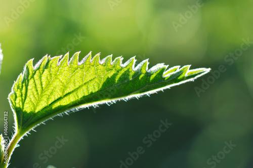 feuille d'ortie dentelée et velue éclairée par  lumière naturelle Canvas-taulu