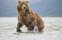 Kamchatka Brown Bear In Lake
