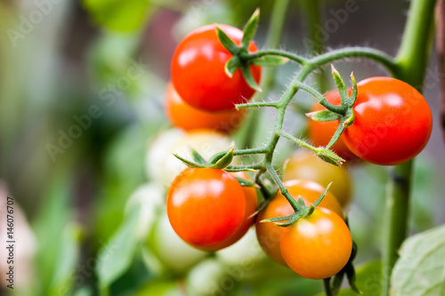 Valokuva  bunch of tomatoes ripening on the branch