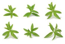 Verbena 5 Small Branches